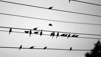 Birds grayscale power lines wallpaper