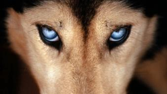 Blue eyes dogs wallpaper