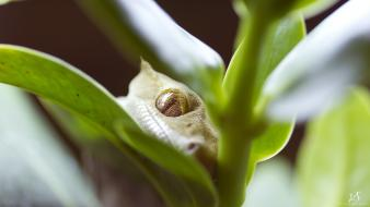 Close-up leaves geckos reptiles depth of field wallpaper