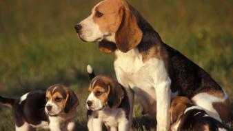 Dogs puppies beagle baby animals wallpaper