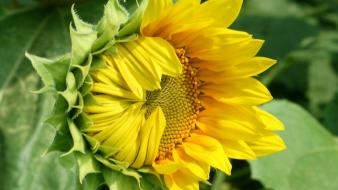 Flowers sunflowers wallpaper