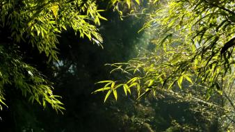 Green nature leaves bamboo sunlight wallpaper