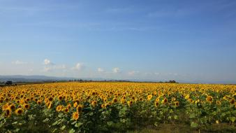 Landscapes nature fields sunflowers wallpaper