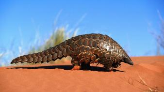 Nature sand animals pangolin Wallpaper
