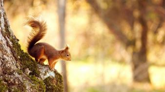 Squirrels bokeh moss blurred background tree trunks wallpaper