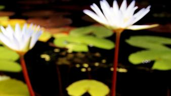 White flowers leaves ponds lotus wallpaper