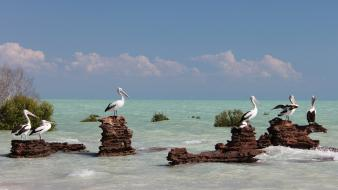 Animals beaches birds pelicans sea wallpaper