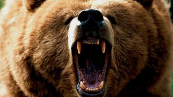 Animals bears grizzlies wallpaper