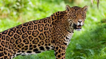 Animals big cats jaguars wallpaper