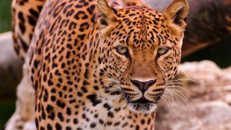 Animals eyes leopards predator wild Wallpaper