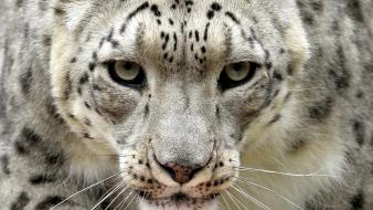 Animals snow leopards wild cats wallpaper