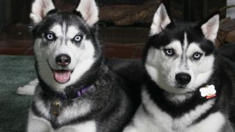 Blue eyes animals dogs husky siberian two wallpaper