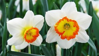 Daffodils flowers Wallpaper
