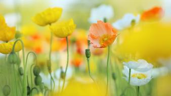 Depth of field flowers poppies wallpaper