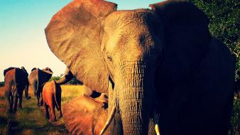 Elephants africa wild protecting ears african life wallpaper