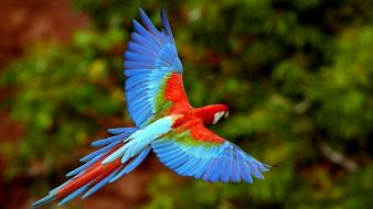 Flying parrots scarlet macaws wallpaper