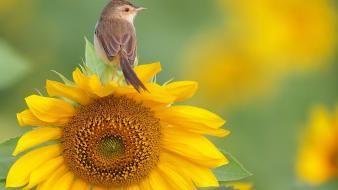 Nature flowers birds sunflowers yellow warblers wallpaper
