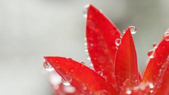Red leaves leaf waterdrops wallpaper