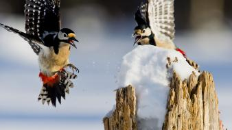 Snow birds woodpecker wallpaper