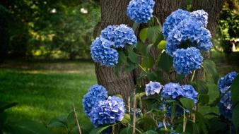 Trees flowers blue hydrangeas wallpaper