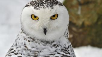 Winter snow birds animals yellow eyes owls portraits wallpaper