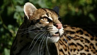 Animals gepard wallpaper