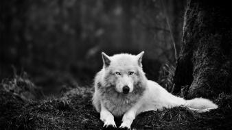 Animals monochrome wolves wallpaper