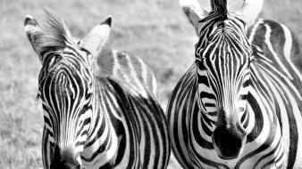 Animals zebras grayscale wallpaper