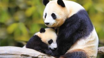 Baby panda pictures wallpaper