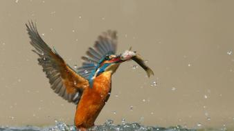 Birds fish kingfisher nature waterdrops wallpaper