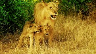 Family cubs lions wallpaper