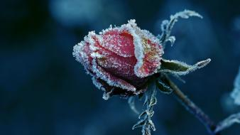 Flowers frost roses Wallpaper