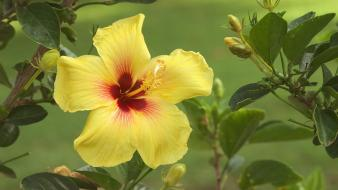 Flowers hibiscus nature wallpaper