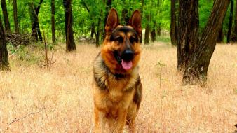 Forests animals dogs german shepherd wallpaper