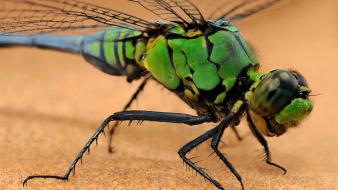 Insects macro dragonflies wallpaper