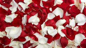 Red white rose petals wallpaper