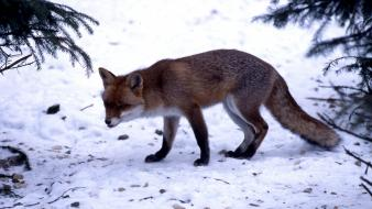Winter snow animals foxes wallpaper