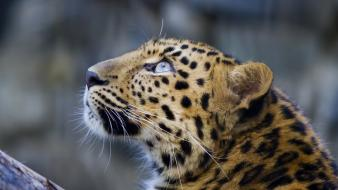 Animals leopards looking up Wallpaper