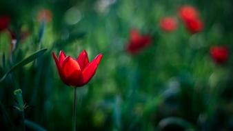 Bokeh depth of field flowers nature red Wallpaper