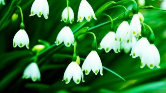 Flowers lily of the valley white wallpaper