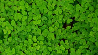 Green nature plants shamrock clover trefoil wallpaper