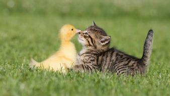 Kitten and duckling pictures wallpaper
