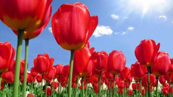 Nature sun red flowers tulips sunlight wallpaper