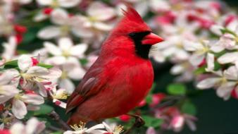 Red cardinal bird Wallpaper