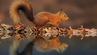 Animals autumn leaves squirrels water Wallpaper