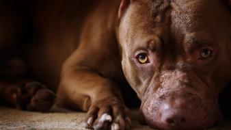 Animals dogs pets pit bull wallpaper