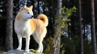 Animals dogs pets shiba inu wallpaper