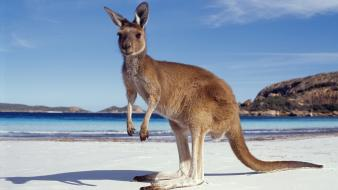 Australia animals beaches kangaroos nature wallpaper
