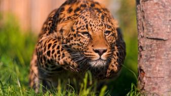 Cats animals hunter running leopards wallpaper