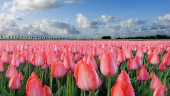 Landscapes nature tulips wallpaper